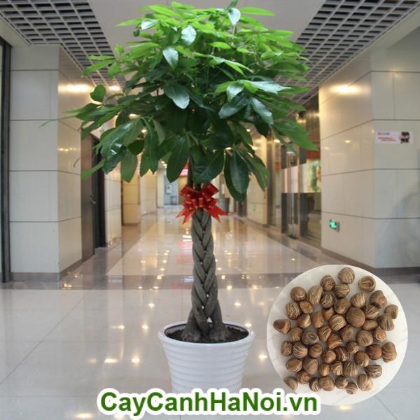 Hướng dẫn trồng cây kim ngân cho văn phòng