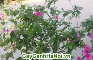 Hoa giấy có thể trồng để trang trí nội thất